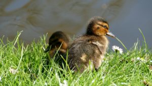 ducklings-1528288_960_720